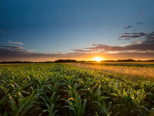 Beautiful view of corn farm. Cereal plants are growing on field during sunset. Scenic view of agricultural land against sky.